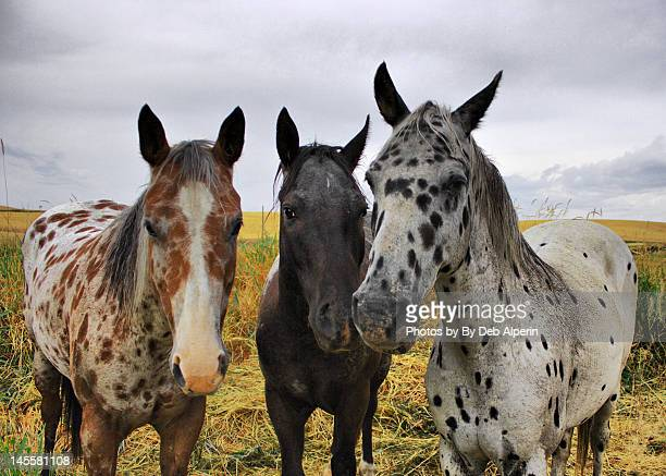Three appaloosa horses