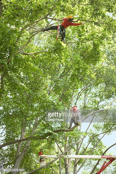 Three arborists pruning trees, low angle view