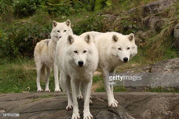 Three Arctic Wolves in Autumn