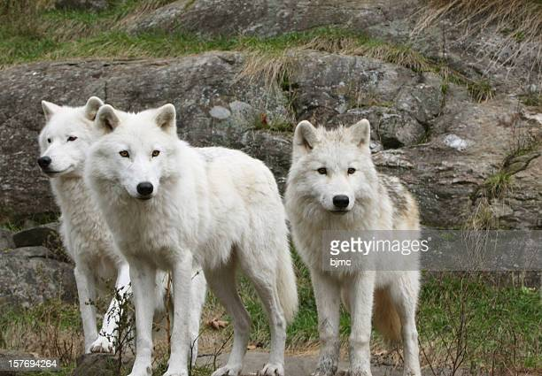 three arctic wolves - arctic wolf stock photos and pictures