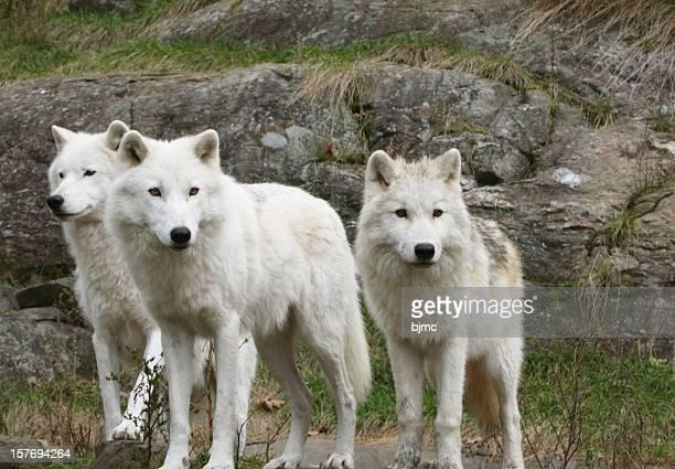 Three Arctic Wolves