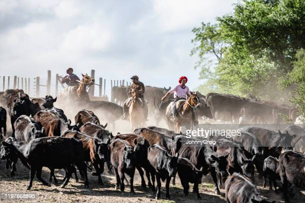 three argentine gauchos herding cattle in dusty enclosure - argentina stock pictures, royalty-free photos & images