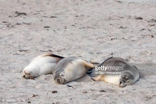 Three Australian Sea Lions sleeping on the beach at Kangaroo Island Australia