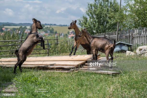 Three baby goats playing in a field on a farm, Bosnia and Herzegovina