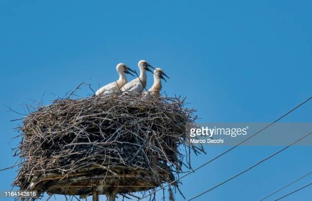 three baby stork wait for food - marco secchi stock photos and pictures