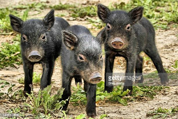 Three baby wild pigs