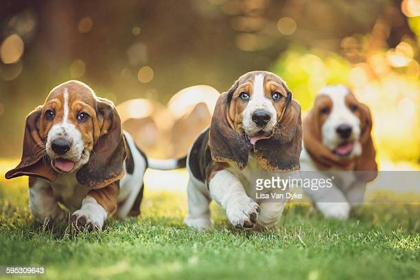 three basset hounds - basset hound stock pictures, royalty-free photos & images