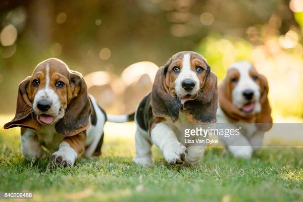 three basset hounds running - puppies - fotografias e filmes do acervo