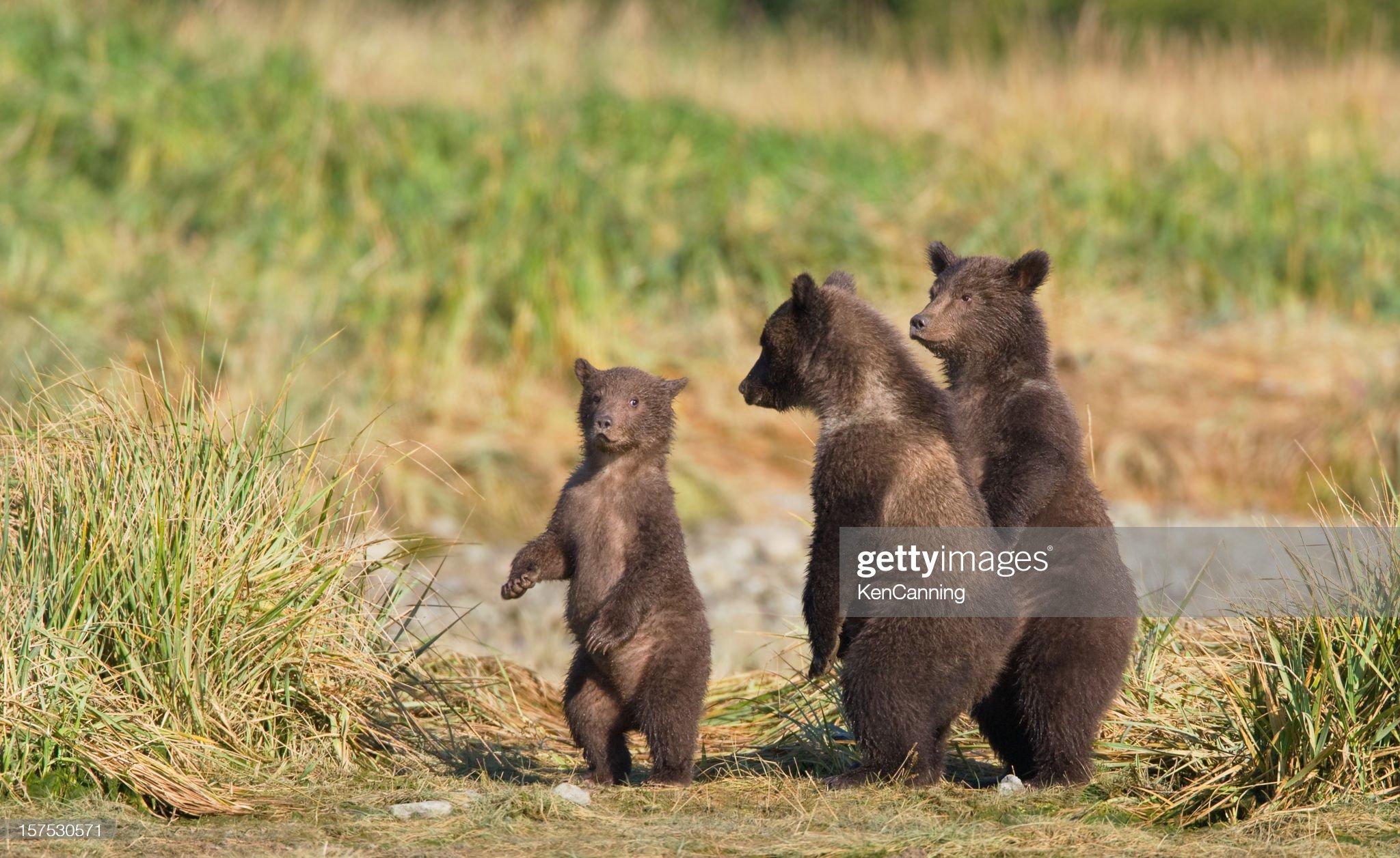 Tre Bear Cubs : Foto stock