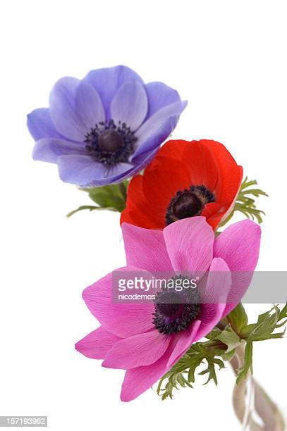 Anemone flower stock photos and pictures getty images three beautiful poppies mightylinksfo