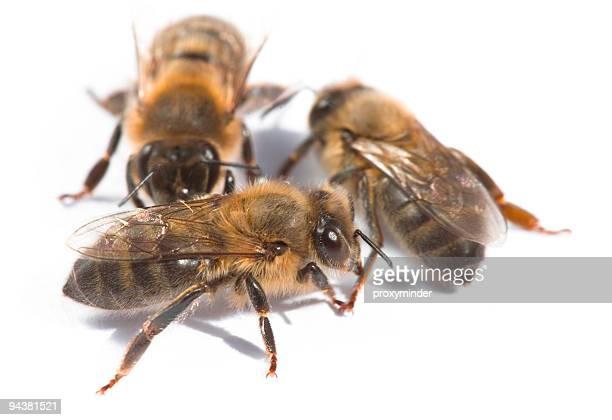 Trois bees