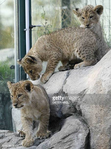 Three berber lion cubs born in September 2008 are pictured at Vienna's Schoenbrunn zoo on October 17 2008 AFP PHOTO/DIETER NAGL