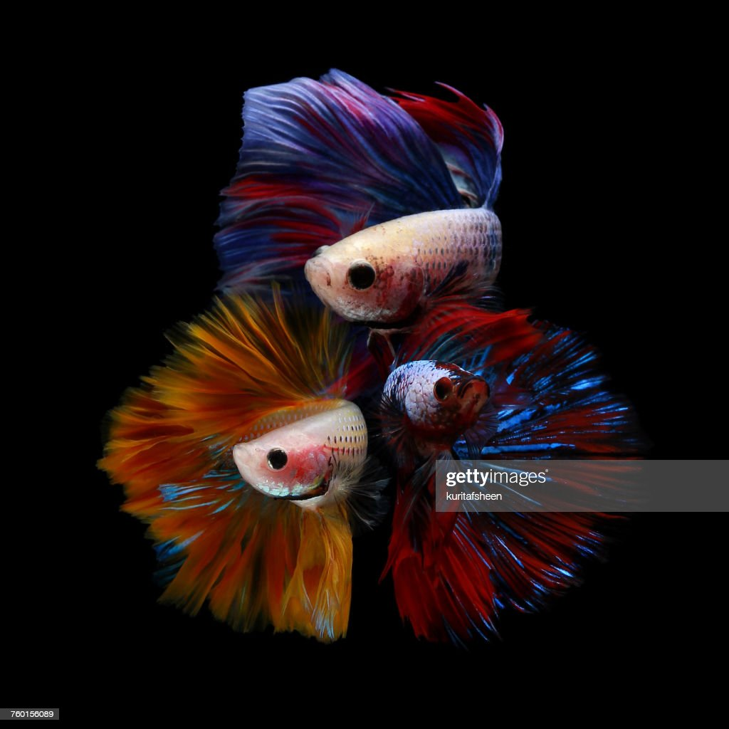 Three betta fish : Stock Photo