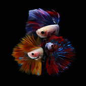 Three betta fish