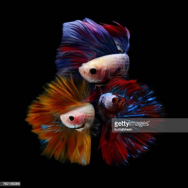 Three betta fish
