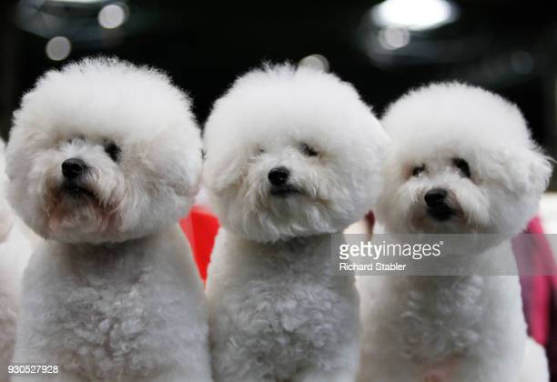 Three Bichon Frise on day three of the Cruft's dog show at the NEC Arena on March 10 2018 in Birmingham England The annual fourday event sees around...