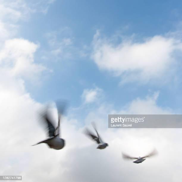 three birds flying against a cloudy blue sky - laurent sauvel photos et images de collection
