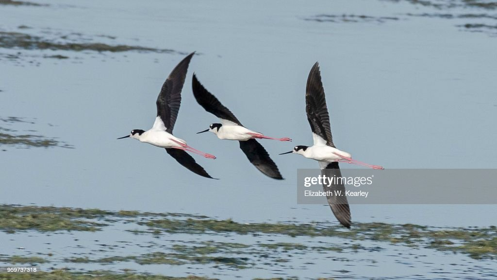 Three Black Necked Stilts Flying Together : Stock-Foto