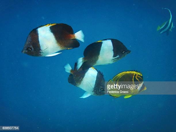 Three Black Pyramid Butterflyfish (Hemitaurichthys zoster) on Maldivian Atoll Coral Reef