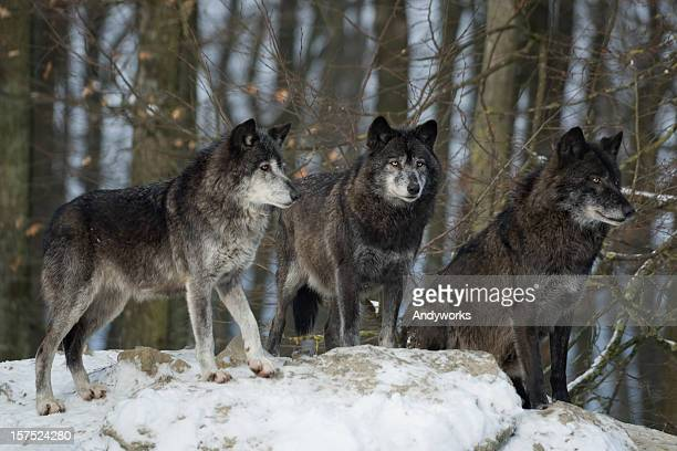 Three Black Wolves