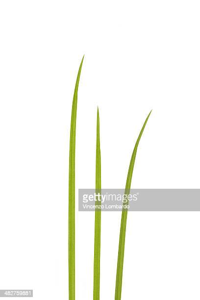 Three blades of grass