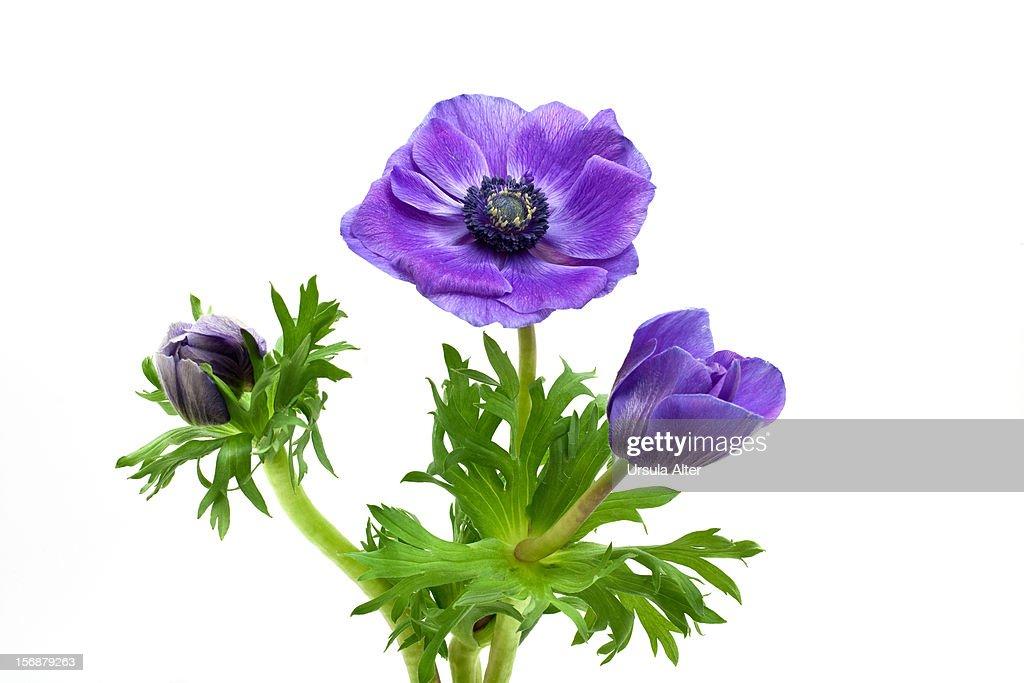three blue Anemone flowers : Stock Photo