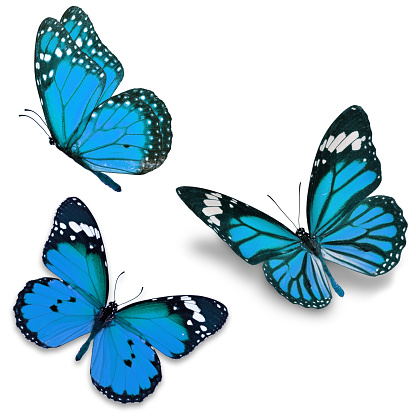 Three blue butterfly 616126974