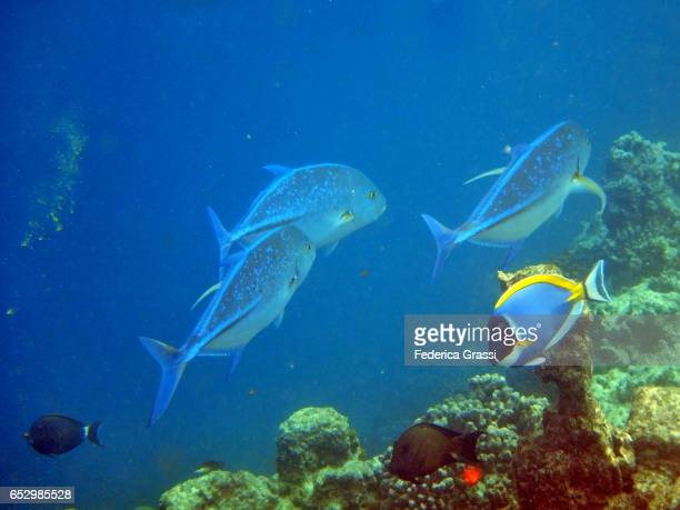 Three Bluefin Jack (Caranx Melampygus)