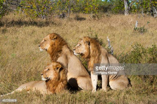 Three brother male lions looking for prey at the Linyanti Reserve near the Savuti Channel in northern part of Botswana