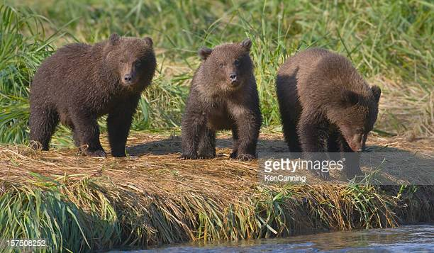 three brown bear cubs - three animals stock pictures, royalty-free photos & images