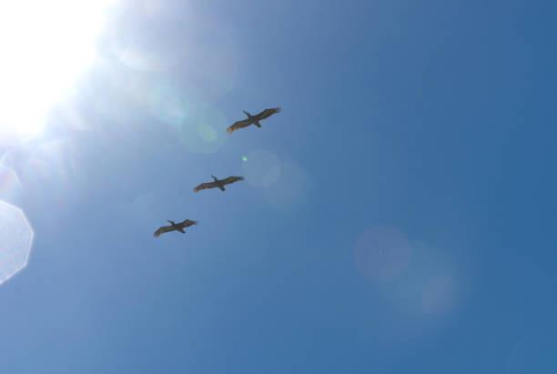 Three brown pelical friends fly free in blue sky toward sunlight, Pichidangui, Chile