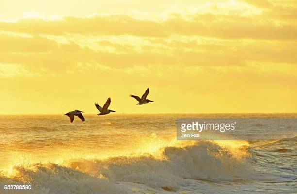 three brown pelicans in flight against golden sky and glowing waves at sunrise - harmony stock pictures, royalty-free photos & images