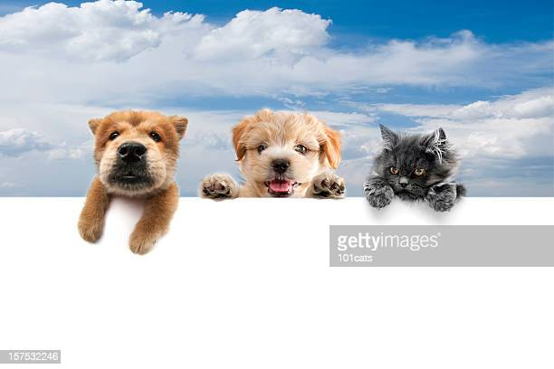 three buddies - chow dog stock pictures, royalty-free photos & images