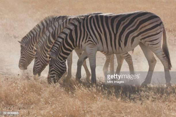 Three Burchells zebra, Equus quagga burchellii, grazing in grassland.