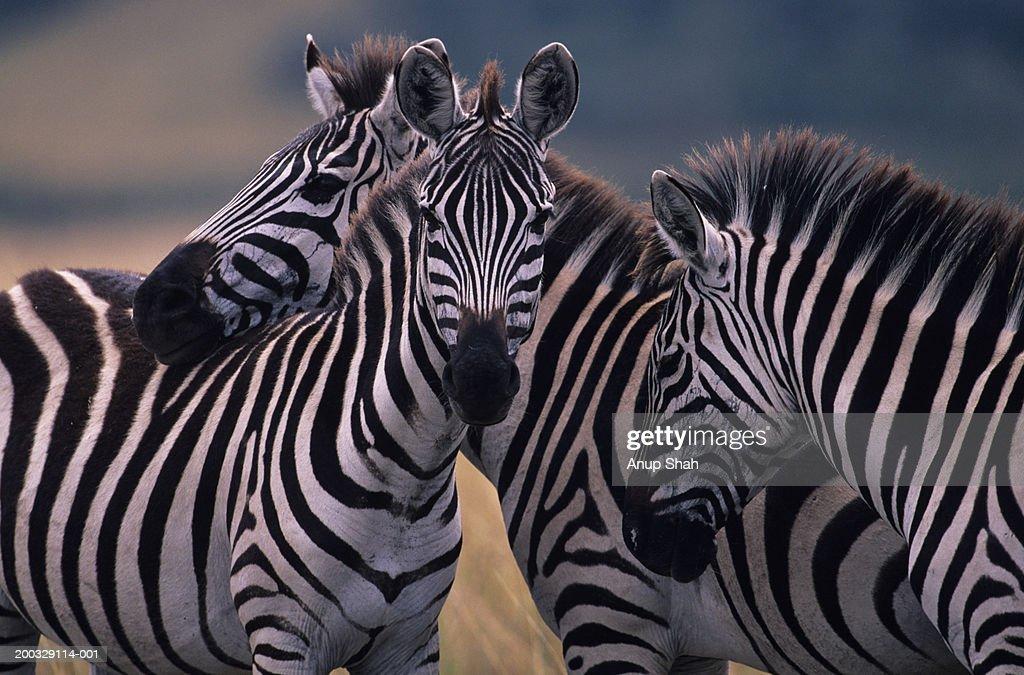Three Burchell's zebras (Equus burchelli) huddling together, Kenya : Stock Photo