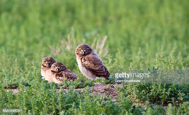 Three Burrowing Owls (Athene cunicularia) in Colorado.
