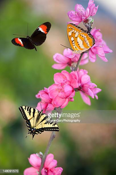 Three Butterflies on Cherry Blossoms