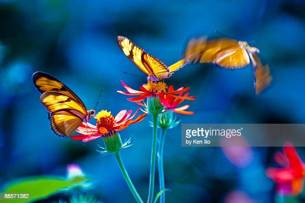 three butterflies - ken ilio stock pictures, royalty-free photos & images