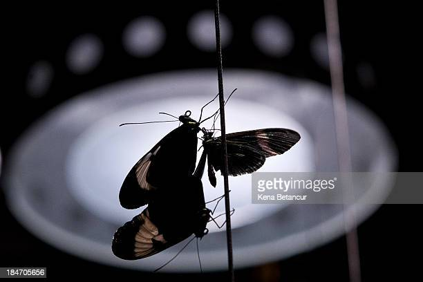 Three butterflies rests on rope in the Butterfly Conservatory at the American Museum of Natural History on October 15 2013 in New York City The...