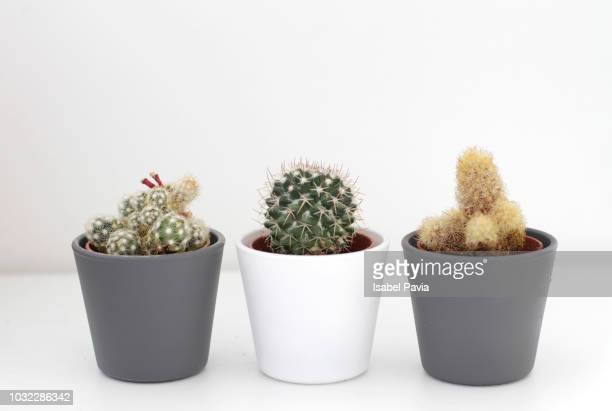 three cactus plants - pot plant stock pictures, royalty-free photos & images