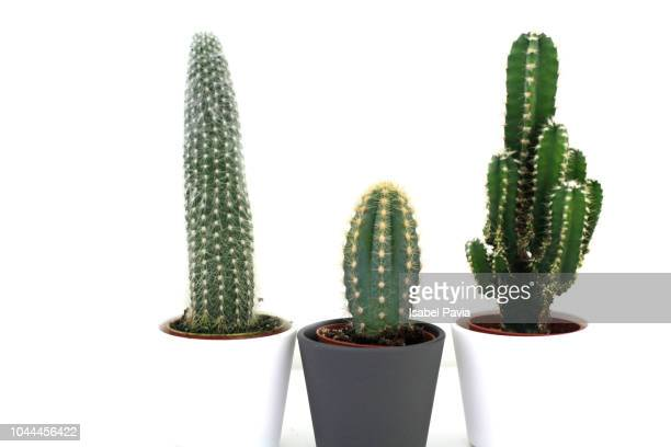 three cactus plants - cactus stock pictures, royalty-free photos & images