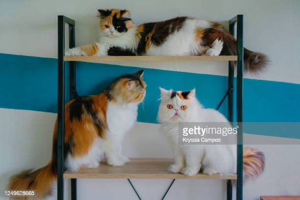 three calico persian cats resting on furniture - three animals stock pictures, royalty-free photos & images
