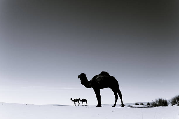 Three Camels in the Sahara Desert, Black and White