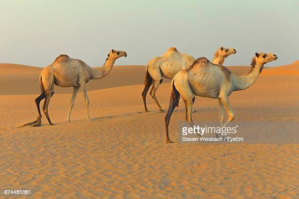 Three Camels Walking Through Desert