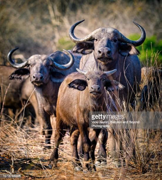 three cape buffalo staring at camera at mana pools, zimbabwe - 動物の親子 ストックフォトと画像
