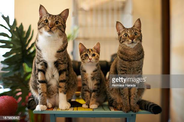 three cats in a row - animal family stock pictures, royalty-free photos & images