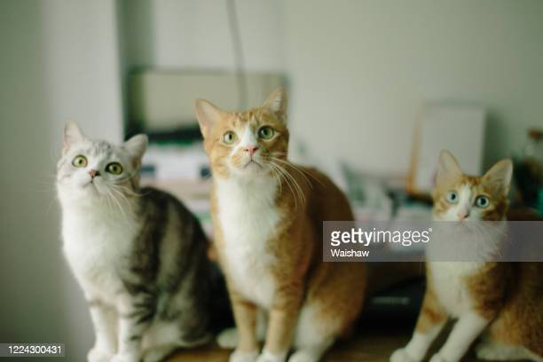 three cats - three animals stock pictures, royalty-free photos & images