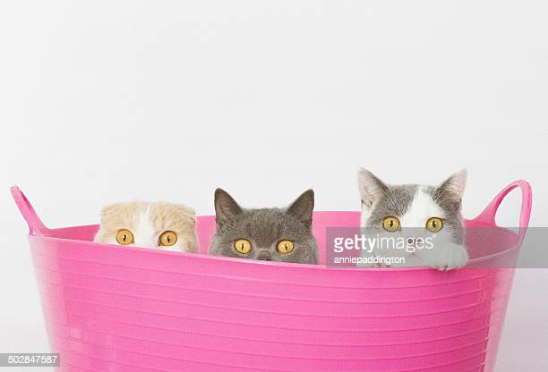 Three cats sitting in pink bucket