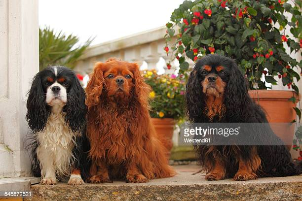 three cavalier king charles spaniels sitting side by side on a step - cavalier king charles spaniel stock pictures, royalty-free photos & images
