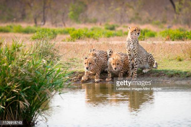 three cheetah,  acinonyx jubatus, stand and crouch at a waterhole looking away - waterhole stock pictures, royalty-free photos & images